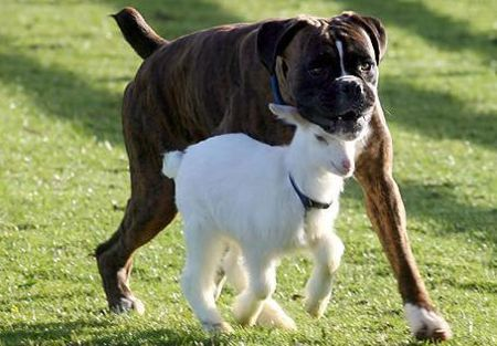 'Козлик и пес: настоящая дружба (3 фото)' title='Козлик и пес: настоящая дружба (3 фото)' /
