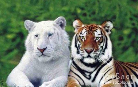 Ах, эти тигры!