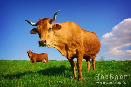 Коровы (9 фото)