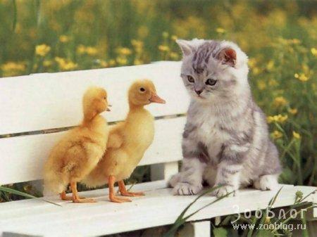 Гусята и котенок