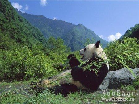 Мишки Панда (10 фото)