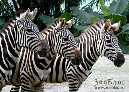 Зебры (8 фото)