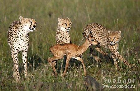 Молодые гепарды - начинающие охотники