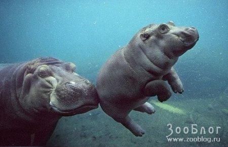 Бегемотик учится плавать