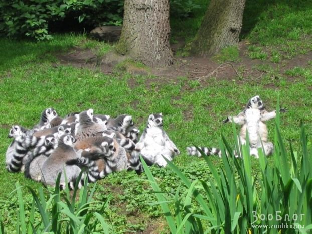 Кошачьи лемуры 7 фото