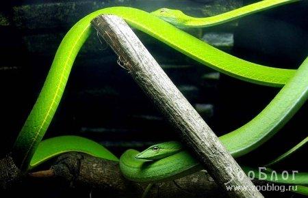 Малайзийские змеи (5 фото)
