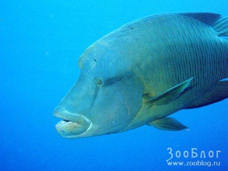 Наполеон - необычная рыба (6 фото)
