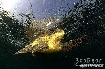 Оливковые черепахи