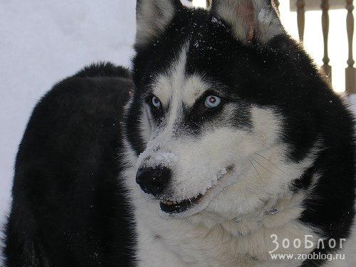 Сибирский хаски. это прежде всего облик легкости и быстроты.