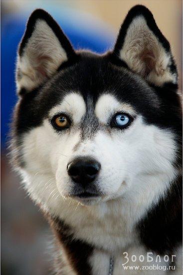 Очень приочень хочу собаку породы ХАСКИ, сумасшедше красивые и охереть...