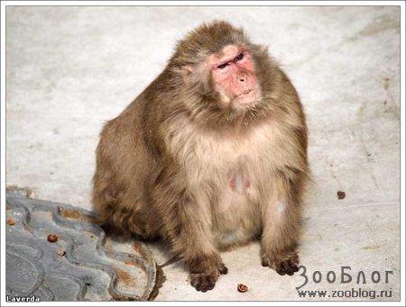 Хмурая обезьянкО