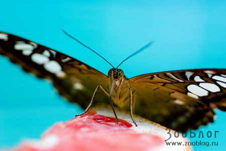 Свежая бабочка