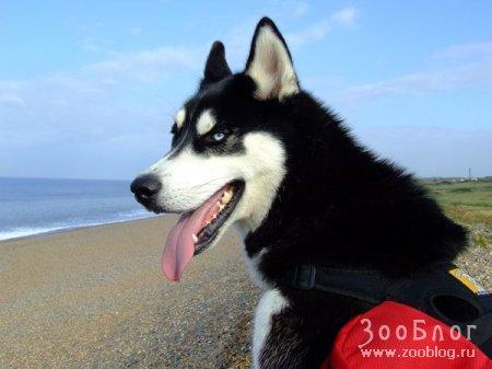 Сибирские хаски (9 фото)