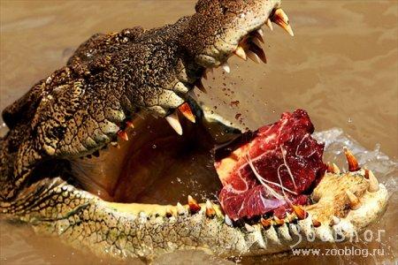 Крокодилы реки Аделаида