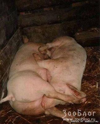 69 по-свински
