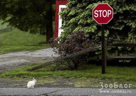 Как зайцу стоп-сигнал