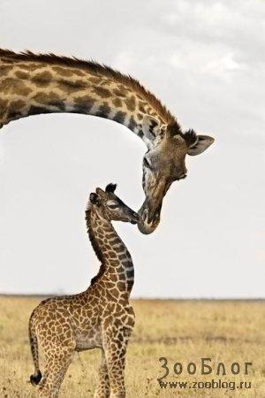 Заботливая мама-жирафиха