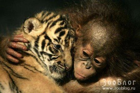 Обезьяна и тигр: Вместе...