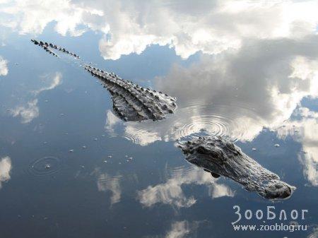Отражение: облаков или крокодила?