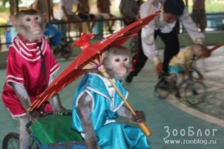 Вьетнамские мартышки