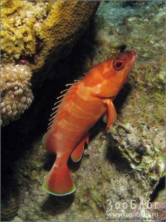 Групер краснополосый – Blacktip grouper (4 фото)