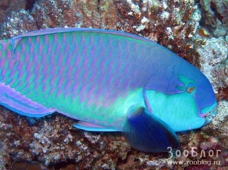 Предлагаю вашему вниманию фото некоторых обитателей рифов Красного Моря.  Мой первый опыт