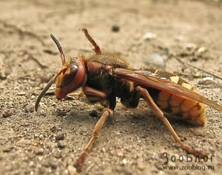 Макро: пчела