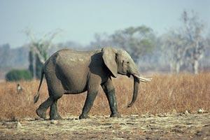 Слоны-рецидивисты отправляют СМС