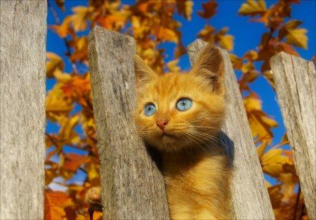Голубоглазый рыжик
