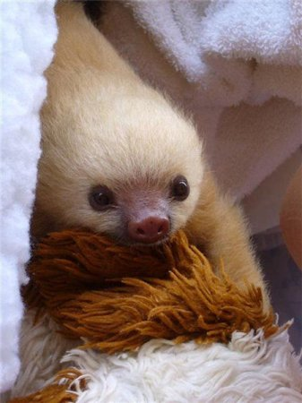 Ленивец-альбинос