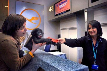 Шимпанзе-путешественник