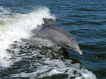 Самки дельфинов научились готовить себе еду