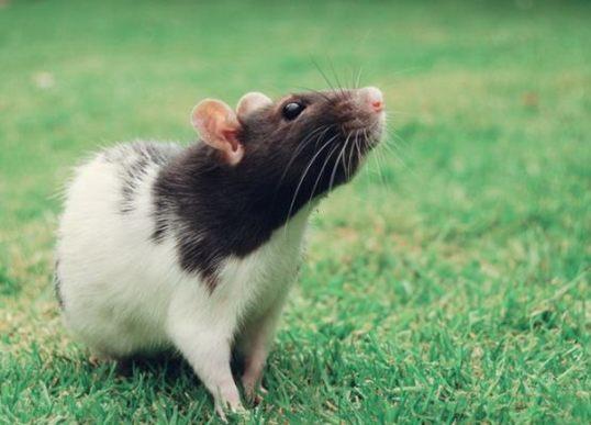 смешные фото крысы