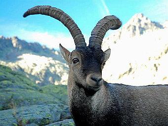 Клон вымершего вида козлов прожил всего 7 минут