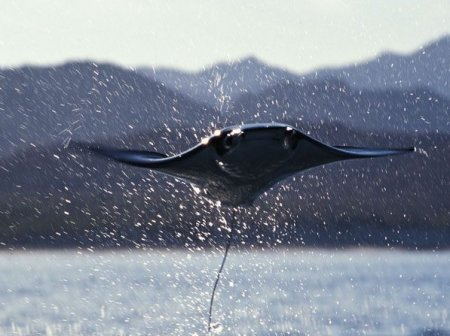 Летающие скаты