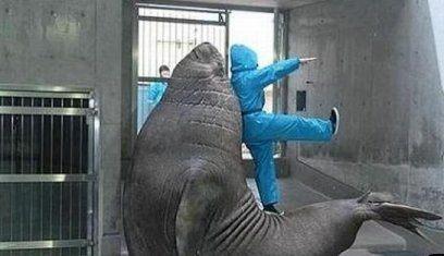 Огромный морж