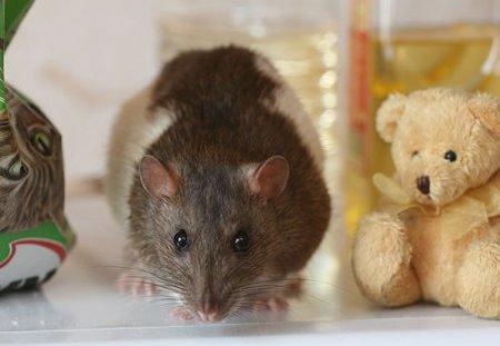 Весёлая жизнь крысы
