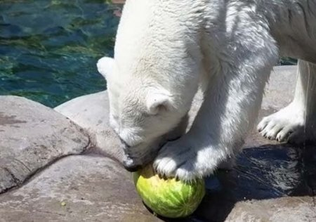 Белые медведи тоже любят арбузы