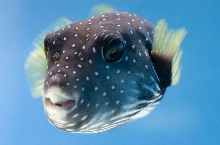 Рыба-Шар или Фугу