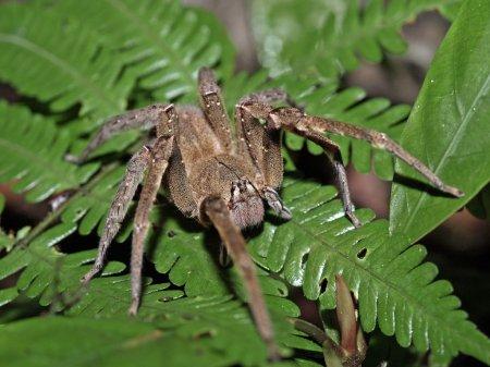 Бразильский Блуждающий Паук (Phoneutria) или банановый паук