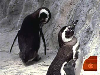 Калифорнийский пингвин-гей сменил ориентацию
