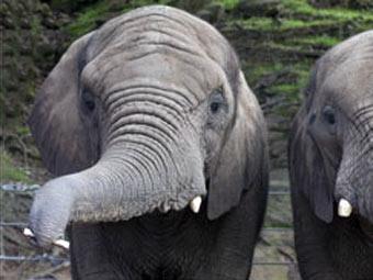Слониха научилась играть на губной гармошке
