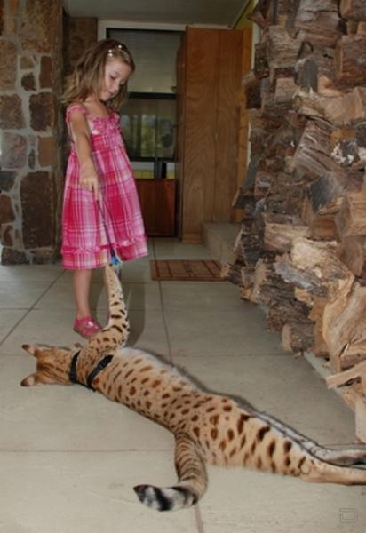 Фото самый большой домашний кот в мире фото