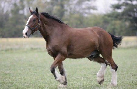 Самая большая лошадь в мире