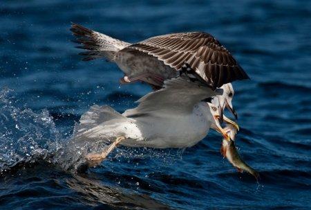 Добыча чайки