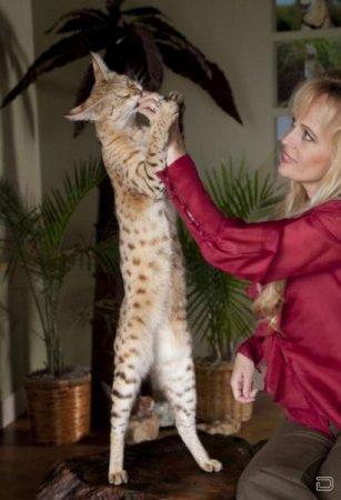 Самый высокий домашний кот в мире