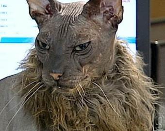 Самый уродливый в мире кот живет в Америке