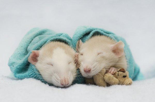 http://www.zooblog.ru/uploads/posts/2009-11/1259095854_rats-05.jpg