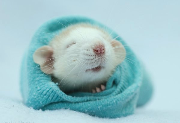 http://www.zooblog.ru/uploads/posts/2009-11/1259095908_rats-01.jpg