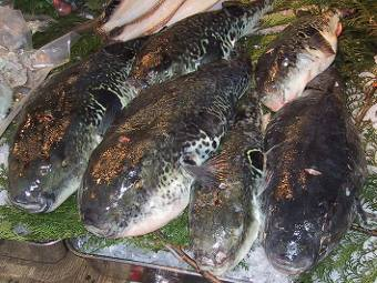 В Японии вывели неядовитую рыбу фугу